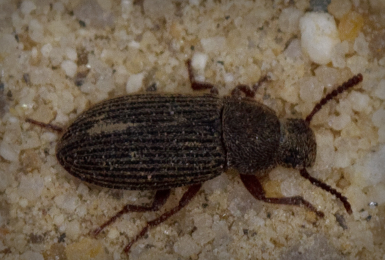 Ant-sized Beetle - Blapstinus sulcatus