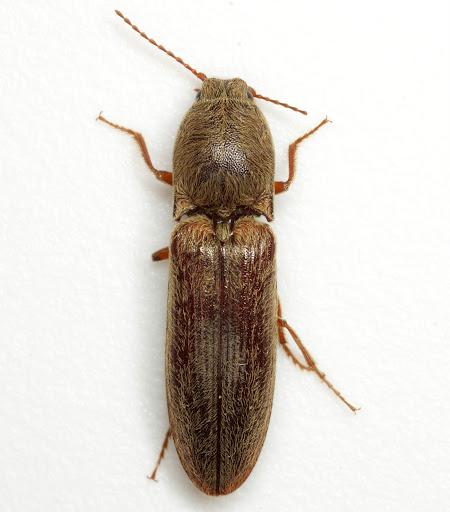 Limonius griseus (Beauvois) - Gambrinus griseus