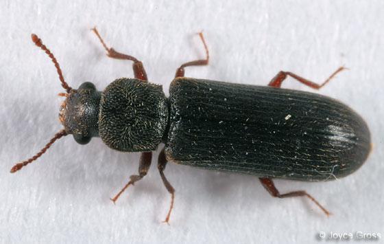 bostrichid - Lyctus carbonarius