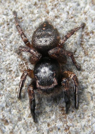 Jumping Spider with flags - Habronattus hirsutus
