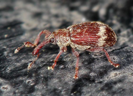 small reddish snout beetle - Anthonomus dentoni