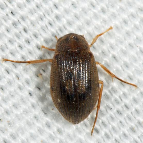 beetle - Berosus peregrinus - male