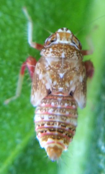 Leafhopper nymph? - Orientus ishidae