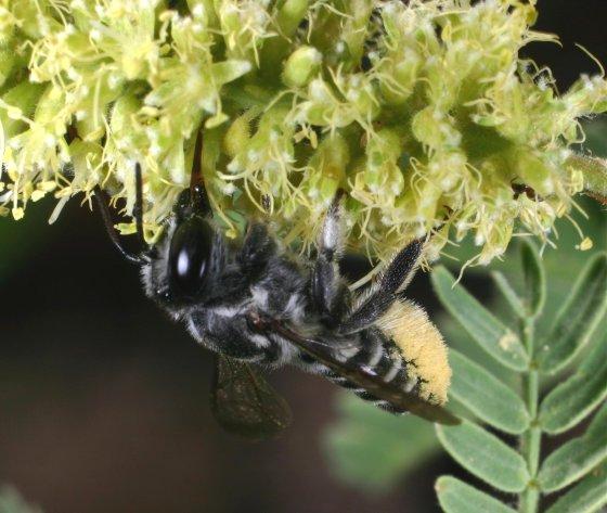 Megachile species h - Megachile