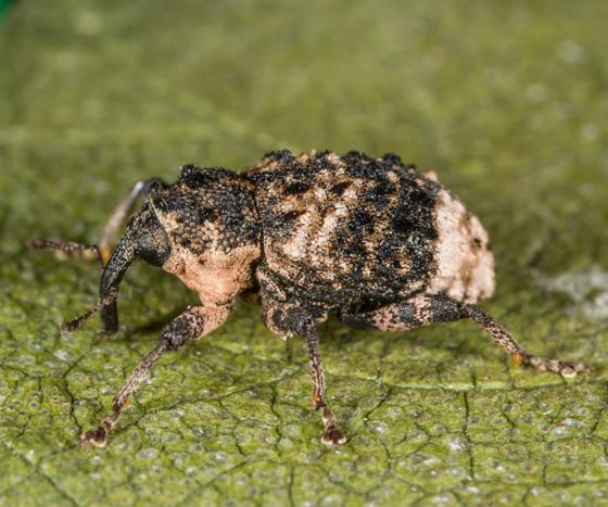 Unknown Weevil - Cryptorhynchus lapathi