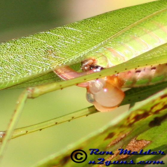 Katydid - Scudderia furcata - female