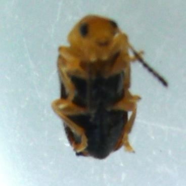beetle - Zeugophora puberula