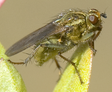 pale green fly, dung fly? - Scathophaga stercoraria - female