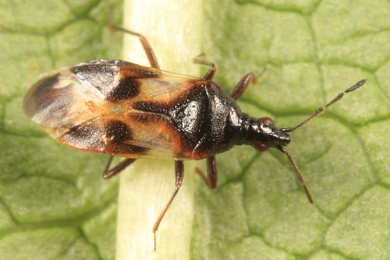 Minute Pirate Bug on alder - Anthocoris musculus