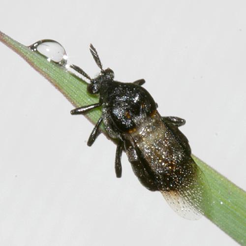 Wedge-shaped Beetle - Ripiphorus fasciatus-complex - female