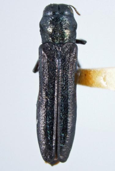 Paragrilus tenuis (LeConte) - Paragrilus tenuis