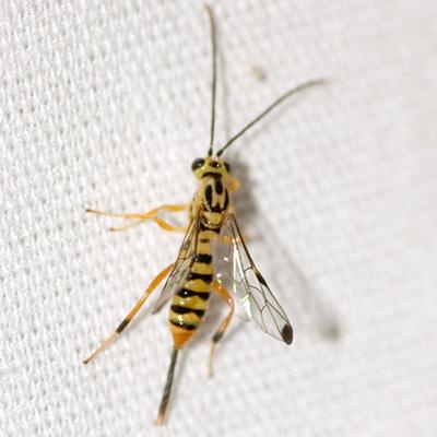 Ichneumon Wasp - Lycorina glaucomata - BugGuide.Net