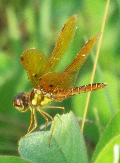 Eastern Amberwing - Perithemis tenera