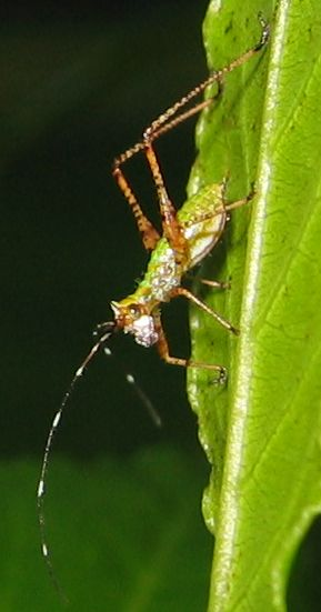 Hopping insect - Scudderia