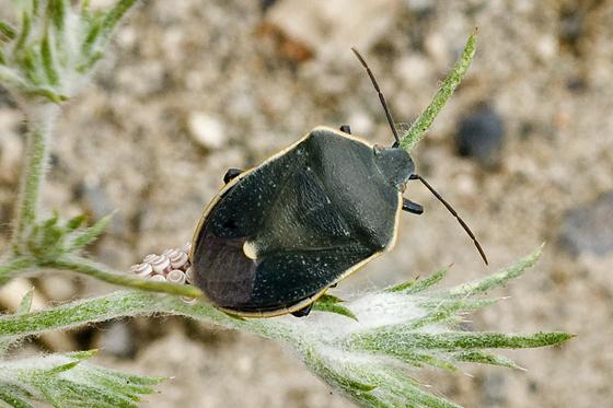 Stink bug laying eggs--Chlorochroa? - Chlorochroa kanei - female