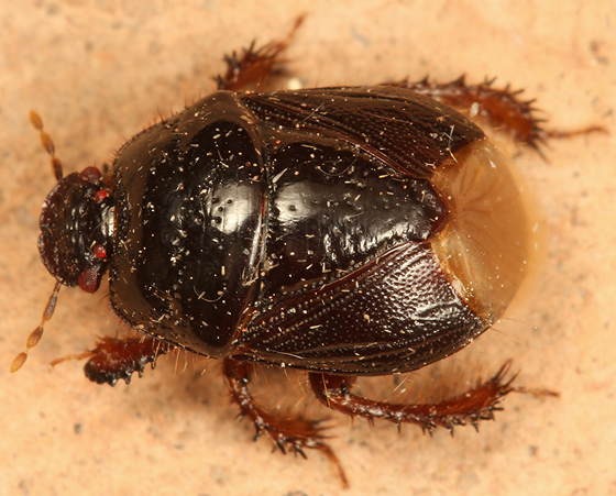 burrowing bug - Cyrtomenus crassus