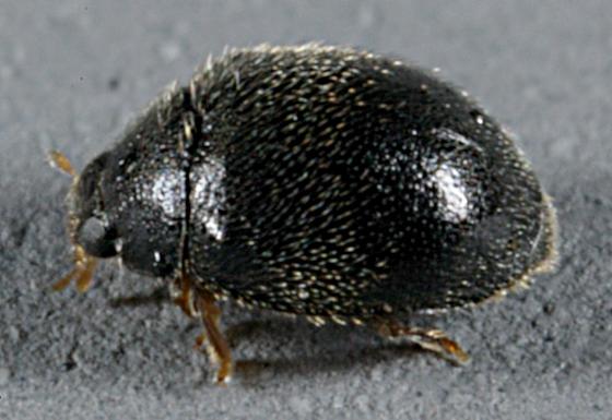 small coleo - Stethorus