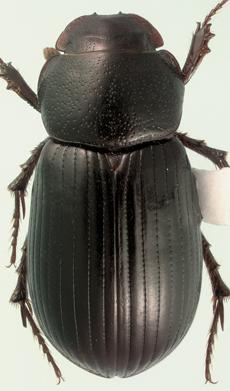 Stenotothorax badipes (Melsheimer) - Aphodius badipes - male