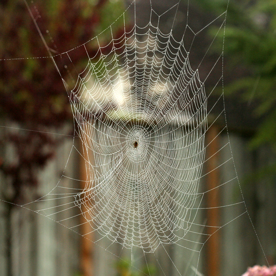 Cross Spider Web - Araneus diadematus