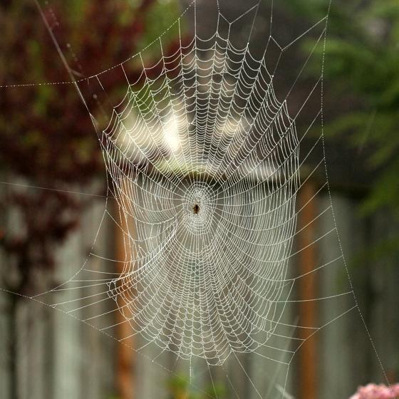 Cross Spider Web - Araneus diadematus