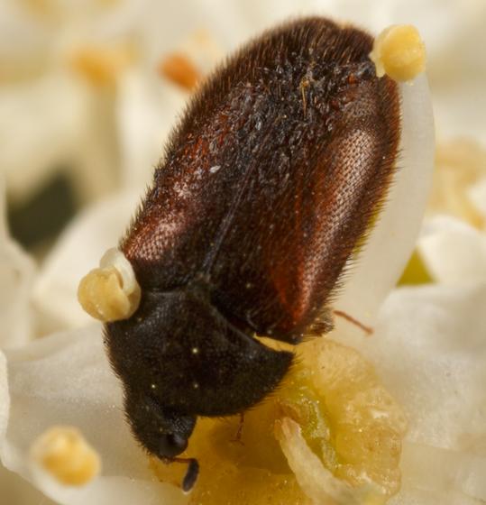 small brown beetle - Attagenus