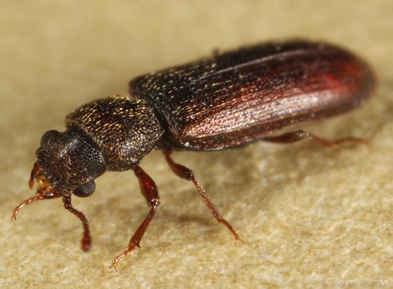 map beetle - Lyctus carbonarius