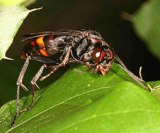 large spider wasp - Poecilopompilus algidus - female