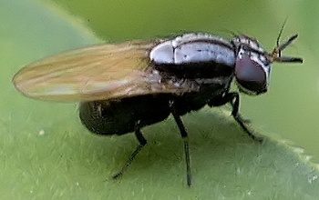fly - Melanomyza
