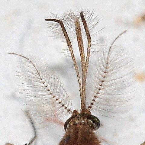 Mosquito head - Culex pipiens - male