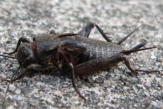 Eastern Trilling Cricket - Gryllus rubens - female