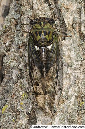 Silver-Bellied Cicada - Tibicen pruinosus - male