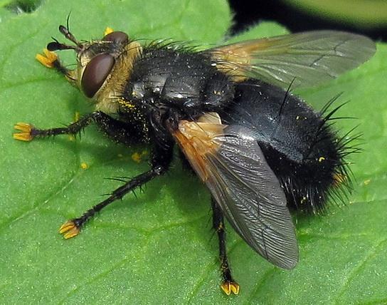 Yellow-footed Diptera - Tachina