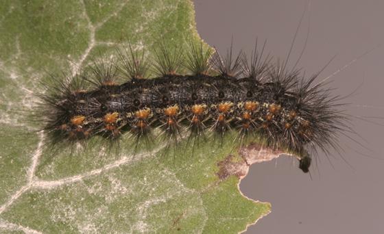 Erebidae, Salt Marsh larva, dorsal - Estigmene acrea