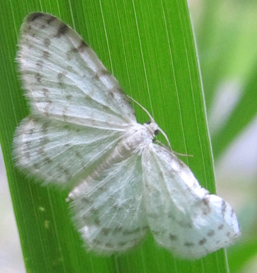 Moth - Hydrelia albifera