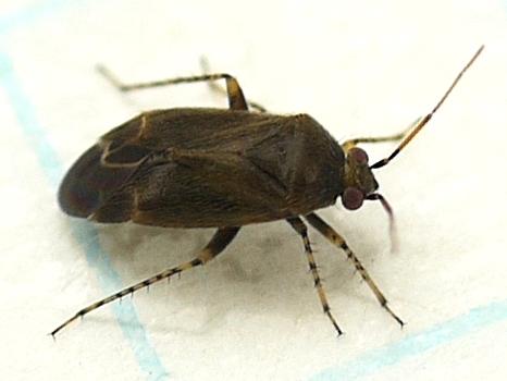 plant bug - Plagiognathus fuscosus