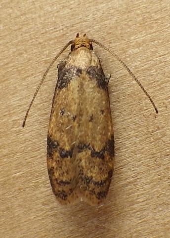 Autostichidae: Gerdana caritella - Gerdana caritella