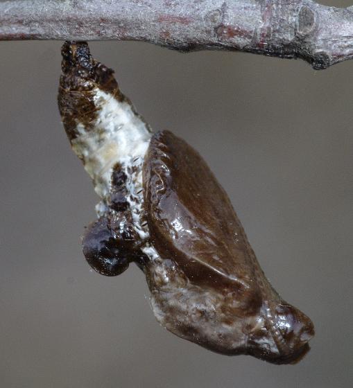 Chrysalis - Limenitis arthemis