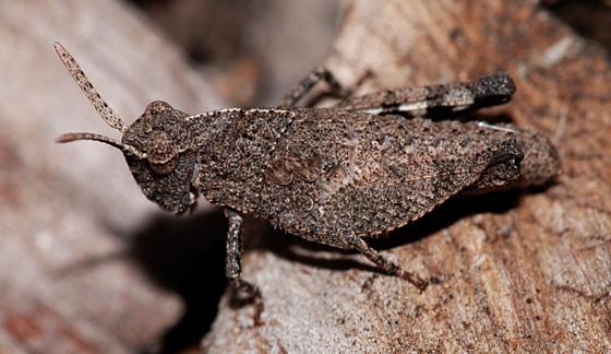 Acrididae: Lactista? - Lactista azteca