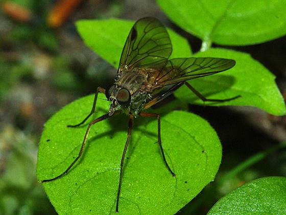 Snipe Fly - Rhagio - female