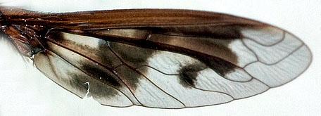 Bombyliid - Exoprosopa