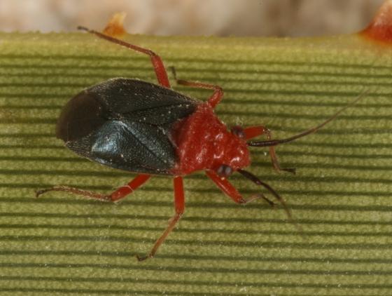 bug 80 - Halticotoma valida