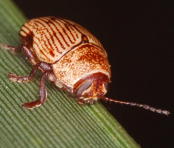 beetle - Cryptocephalus falli