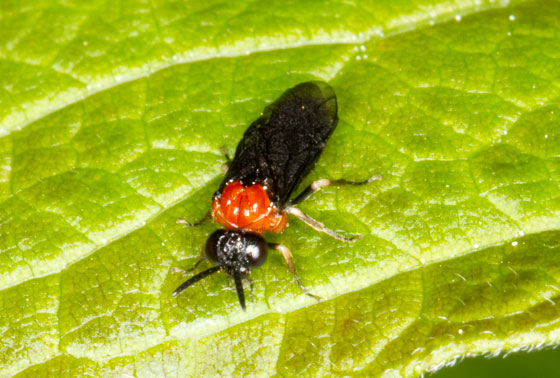 Sawfly - Eutomostethus ephippium