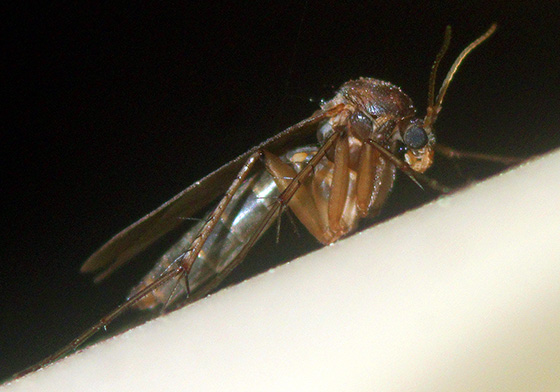 Mycetophilidae Fungus Gnat? - male