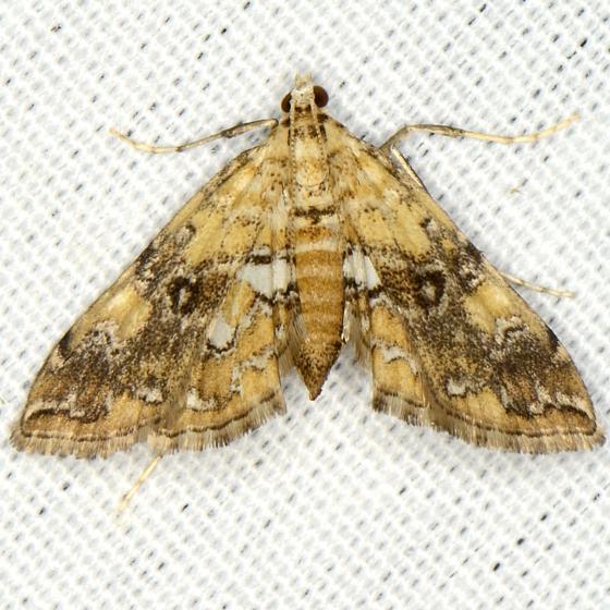Elophila faulalis
