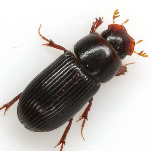 Ataenius platensis (Blanchard) - Ataenius platensis