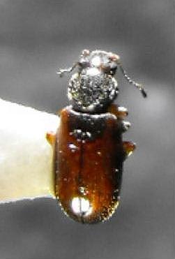 Latriidid - Corticaria varicolor