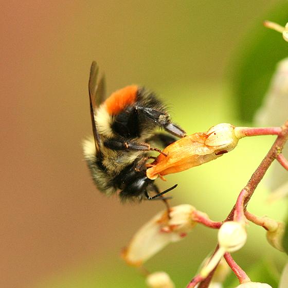 Yellow Orange And Black Bumble Bee