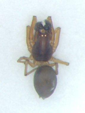 KY spider 15 - Emblyna cruciata - male