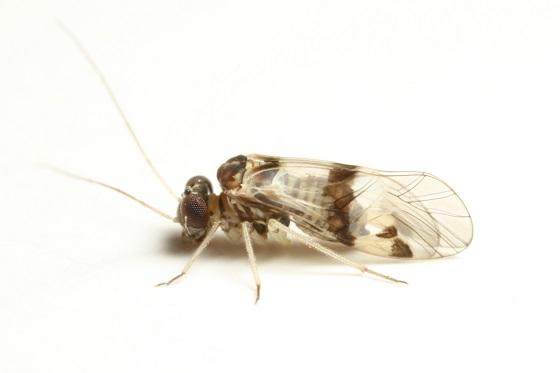 Indiopsocus texus  (Aaron) 1886 - Indiopsocus texanus - male